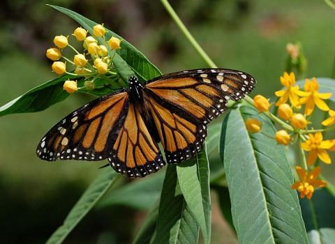 800px-Monarch_Butterfly_Danaus_plexippus_on_Milkweed_Hybrid_2800px